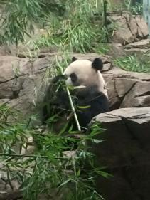 panda7